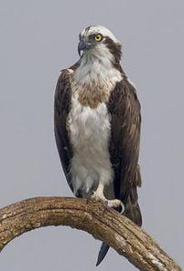femalei-osprey