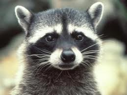 adolesent Raccoon