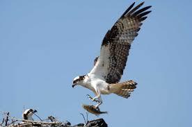 courtship feeding