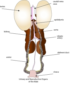 male_urinary_genital_system1 (1)