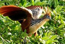 220px-Hoatzin_in_Peru