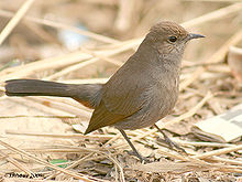 220px-Indian_Robin_(F)_I-Haryana_IMG_8045