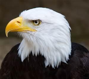 Eagle)