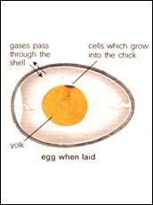 egg-incubating