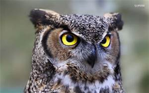 Great horned owl)