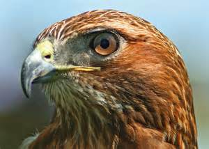 Hawk)