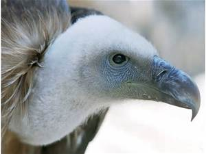 Vulture)