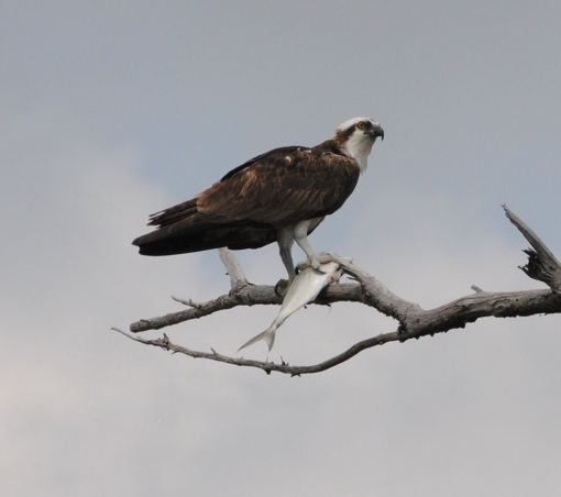 osprey-with-fish3