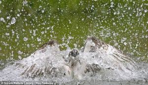 Osprey as he dive-bombs river... and lands a whopper 4