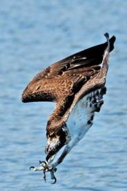 Osprey diving with wings folded, head first and at the last second thrusting its talons downward into the water. The osprey is the only raptor that will ..