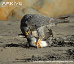 Pergrine-falcon-ssp-tundrius-delivering-killing-bite-to-neck-of-eared-grebe-prey