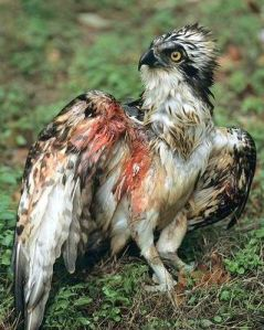 An-injured-osprey-shot-for-sport