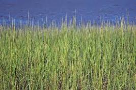 cord grasss