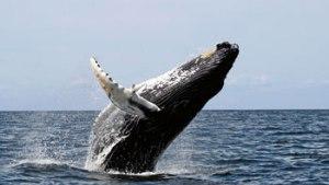 humpback_whale_1