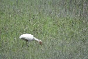 ibis 3)