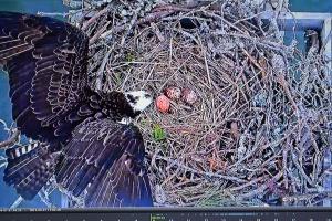 Ozzie checks 3 eggs