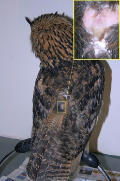 articles-Owl+Physiology-Feathers-9