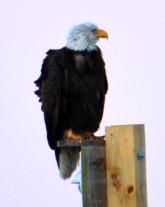 Eagle on Taj Mahal.JPG