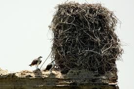 Extrs Huge Osprey nest.jpg