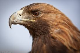Golden Eagle 2.jpg