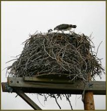 Huge Osprey nest.jpg