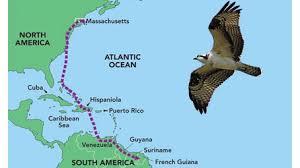osprey migratio9n.jpg