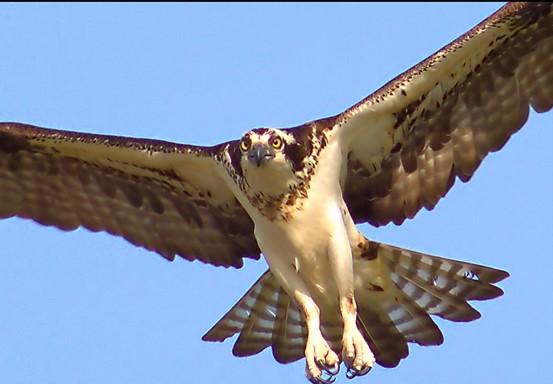 ospreyinflight.jpg