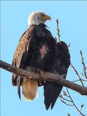 Brood patch - eagle 3.jpg