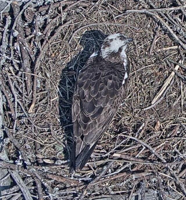 Harriett alone in nest 1 - Copy.jpg